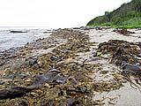 Ламинария на берегу