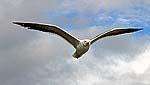 Соловецкая чайка